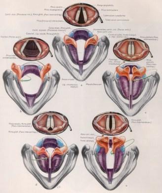 fig. 5 gruppi muscolari funzionali e movimenti relativi indotti dulle corde vocali