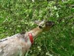 chèvre et pommier