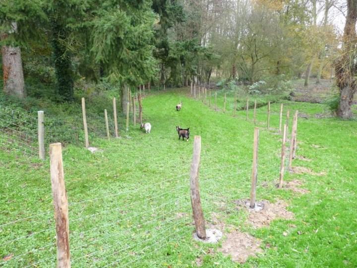 chèvre dans enclos