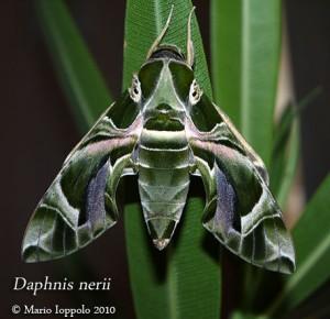 Scheda di allevamento Daphnis nerii