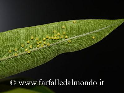 La riproduzione for Oleandro riproduzione