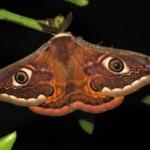 Saturnia pavoniella (maschio)