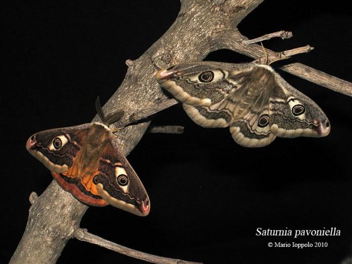 Coppia di Saturnia pavoniella