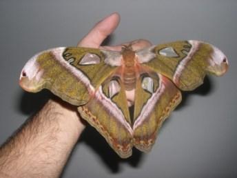 Attacus caesar
