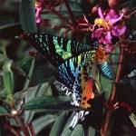 Farfalla? No, falena! Chrysiridia rhipheus, la più bella del Mondo.