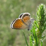 Brephidium exilis, la nana tra le farfalle