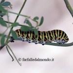 Macaone (Papilio machaon) 15 uova