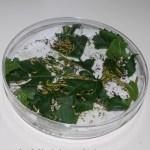 Capsula Petri grande (diametro 14,5 cm)