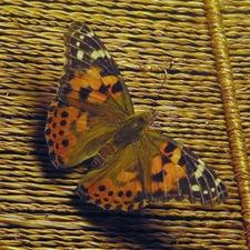 Farfalle per eventi, Vanessa del cardo