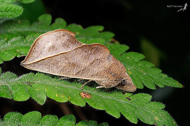 Chaliptra multicornis, Indonesia. © Foto di Shipher Wu