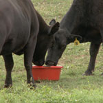 30% Protein High Energy Cattle Tub