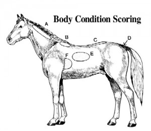 Feeding Horses to Increase Weight and Body Condition. Body condition scoring chart