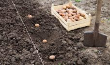 Onions and Seed Potatoes