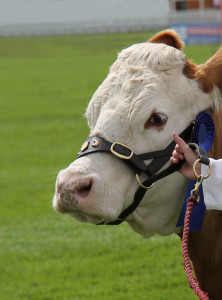 10 Daily Tips for Your Show Cattle
