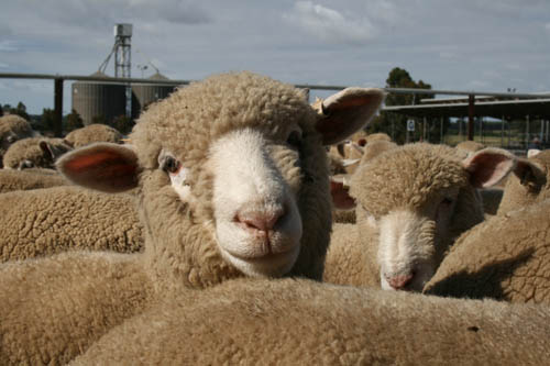 q fever sheep and shearing