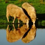 O013 - Sheep Reflections