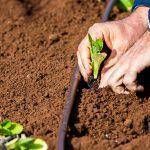 O027 - Planting seedlings into well prepared soil