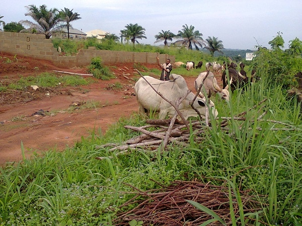Cattle grazing close to farmlands