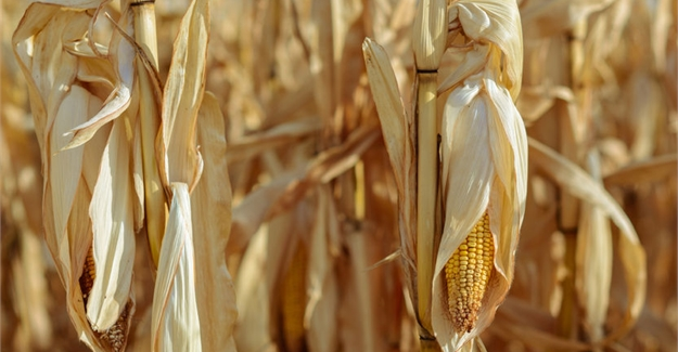 New project helps African farmers address stresses in maize farming