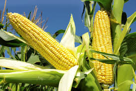 South Africa's 2016 maize crop seen down nearly 30 percent on drought