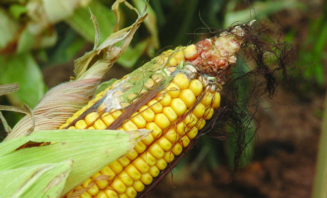 Farm-level solutions key to halting aflatoxins exposure