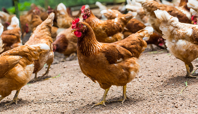 African countries unite against chicken dumping
