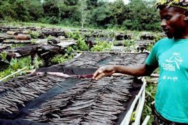Uganda eyes increase in vanilla exports