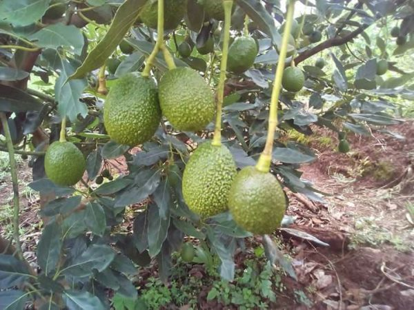 KALRO gives avocado farmers reason to smile with the launch of new mobile app