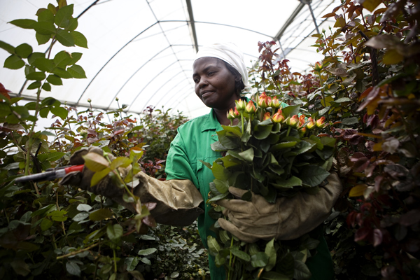 Oserian Flowers raises alarm over biting fertilizer shortage