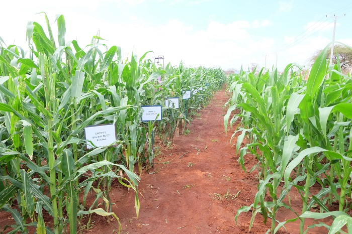 Tanzania's GMO maize field trials show promise
