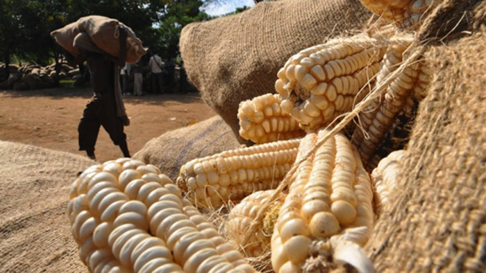 South Africa to experience shortage in maize output following drought