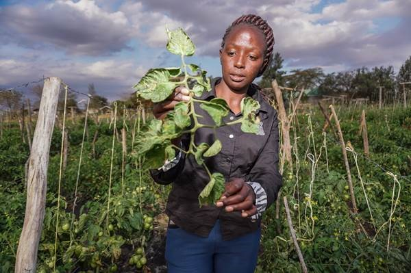 CABI teams up with Koppert to lead biological fight against devastating tomato pest in Kenya