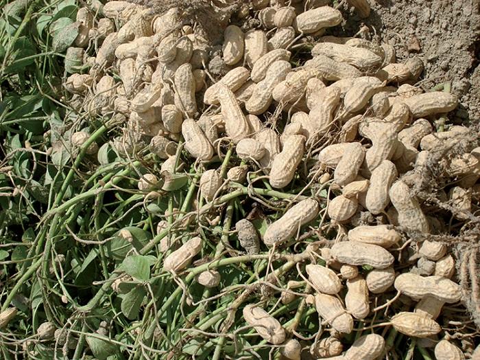 CSIR-SARI introduce two improved high-yielding groundnut seed varieties  in Ghana