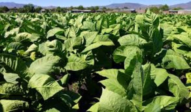 Lemang Agricultural Services collaborates on project with British American Tobacco to train and develop new era tobacco farmers