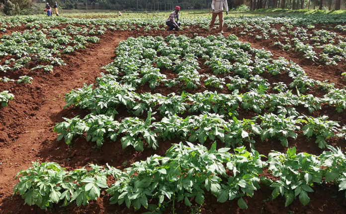 British potatoes put roots down in Africa