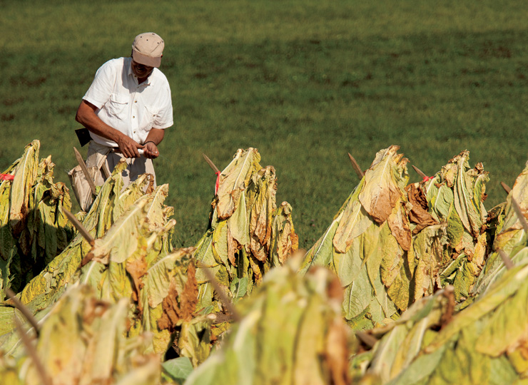 Kentucky Tobacco Producers Adapt to a Changing Industry  Farm Flavor