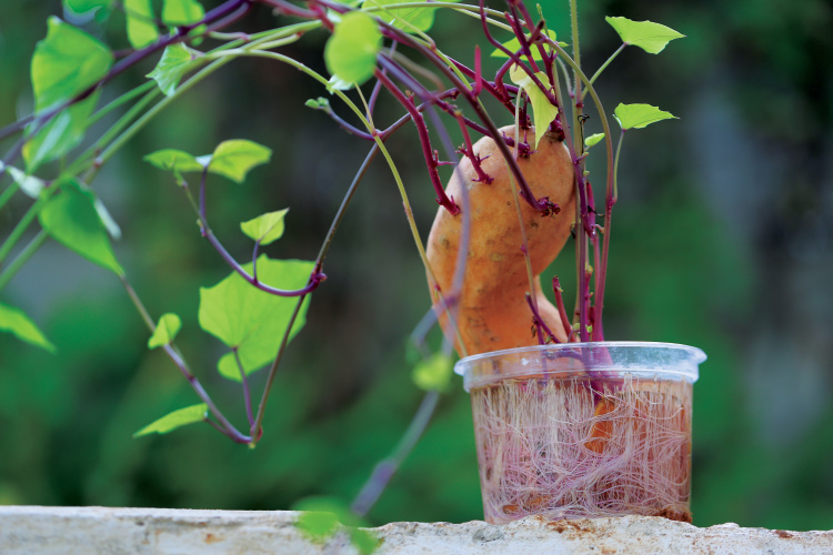 How To Grow Your Own Sweet Potatoes Farm Flavor