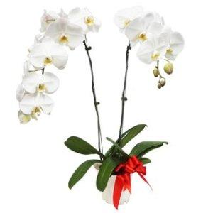 White Orchid Phalaenopsis Arrangement by FARM Florist Singapore
