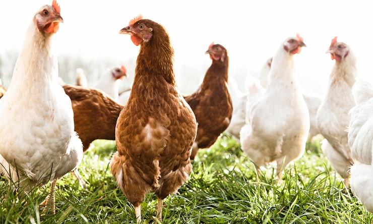 gps para galinhas