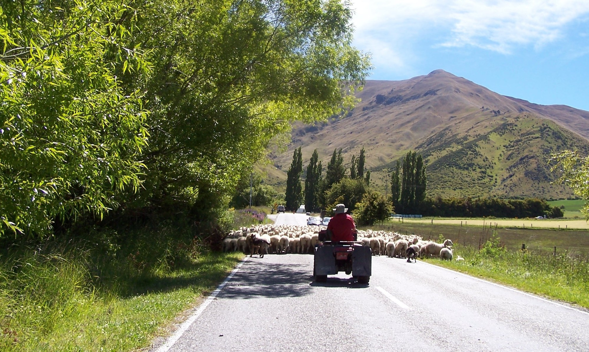 hight resolution of sheep drive up the road
