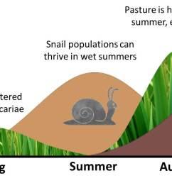 liver fluke summer infection of snails [ 1527 x 675 Pixel ]