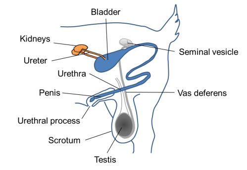 small resolution of male goat urinary system