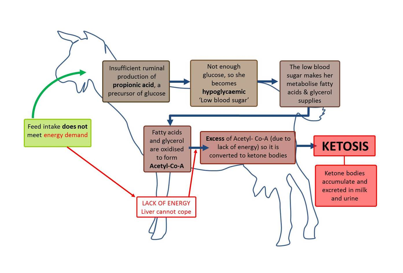 hight resolution of negative energy balance in goats