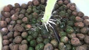 hydroponics reduce algae growth