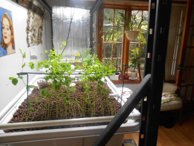 Aquaponic at home