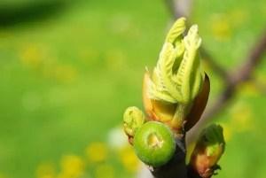 Hydroponic bud growth