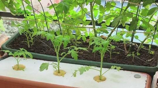 soil farming compared to hydroponics