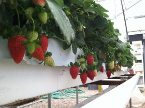 Strawberries In Hydroponic Greenhouse