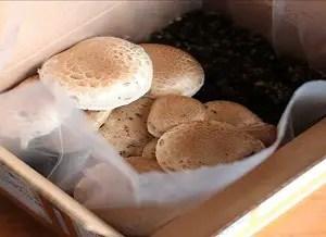 Button Mushroom Growing Kit