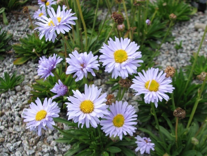 How To Grow Swan River Daisy Properly